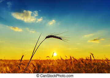 harvest and sunset over field