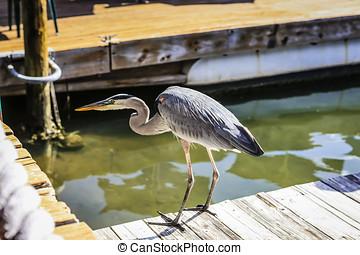 Blue Heron on the Fisherman's Wharf Cortez FL - Blue Heron...
