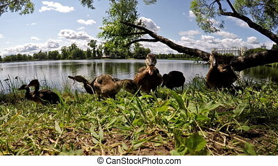 ducks eat bread on the bank of the lake,