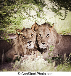 Two lions stairing at the camera in the bush - Portrait of...