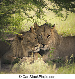 Amazing lions sitting and cuddling in the bush of Moremi...