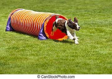 Agility Dog running out of tube.