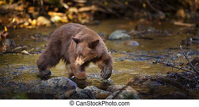Bear Hunting for Salmon in Creek, Taylor Creek, Lake Tahoe,...