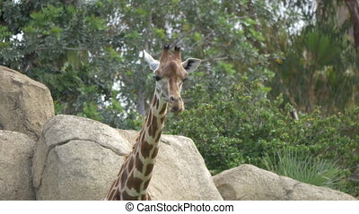 Giraffe in the zoo walking on green trees and stones...