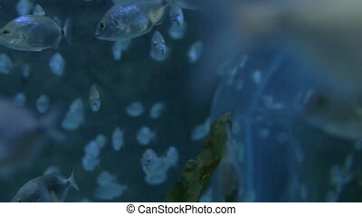School of fish swimming in big aquarium - School of silver...