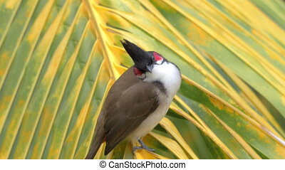 Red-whiskered bulbul on palm leaf - Close-up shot of...