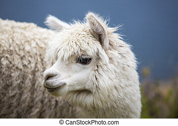 Portrait of beautiful baby Llama, Bolivia - Portrait of baby...