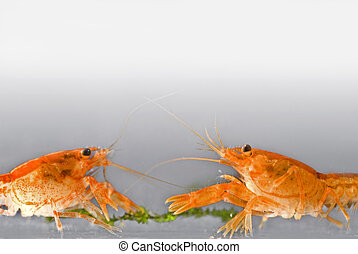 two Mexican dwarf orange crayfishes fighting for food...