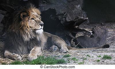 big cat - big wild cat animal in zoo