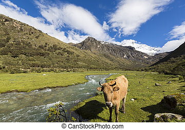 Snow covered mountain peak and cow in the field, Cordillera...