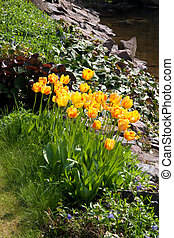 beautiful tulips in garden - beautiful yallow tulips in...