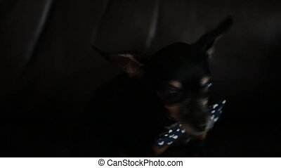 black chihuahua in the dark with bow-tie on the sofa