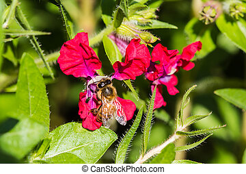 Little bee on red flower