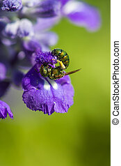 Little bee on purple flower