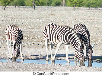 zebras at a watering hole - zebras at watering hole in...