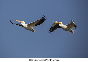 Flying Pelicans - Two pelicans flying through the air