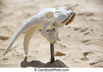 Animal white skull head bone on wild beach, Galapagos -...