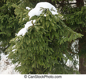 snowy fir branch, beautiful background,