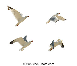 seagull flying on white background and clipping path