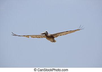 Brown Pelican (Pelecanus occidentalis) in flight - Great...