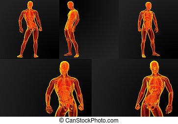 anatomía, macho, Ilustración,  render,  3D