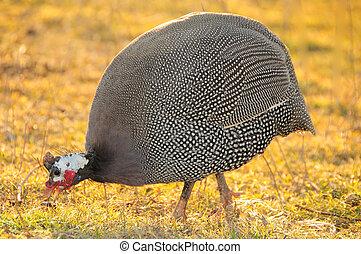 Guinea-fowl; Numida meleagris; South Africa