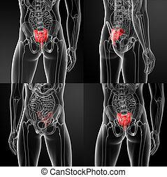 sacrum bone - 3d rendering illustration of sacrum bone