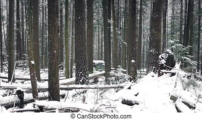 Pretty Winter Forest In Snowfall - Dolly shot moving slowly...