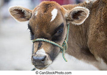 Brown Baby Cow at the animal market of Otavalo - Spotted...