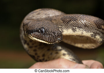 madagascar tree boa, Sanzinia madagascariensis - Big snake...