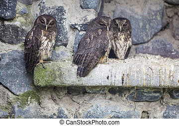 Owls on a stone wall at the Otavalo Condor Park in Ecuador -...