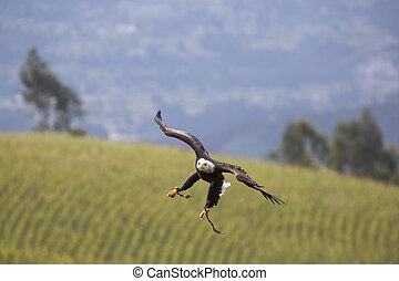American Bald Eagle landing in Otavalo, Ecuador - Flying...