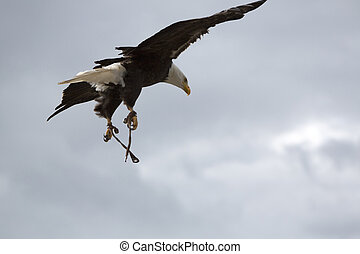 American Bald Eagle flying in Otavalo, Ecuador - Flying...