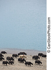 Yaks on the Namtso Lake in Tibet - Road of the Friendship,...