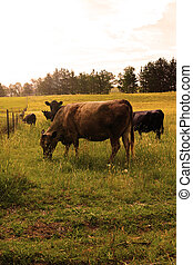 Cattle on the field