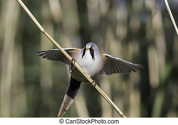 Male bearded tit reedling with wings outstretched - Male...