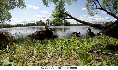 ducks eat bread on the bank of the lake
