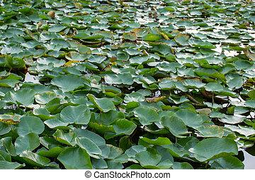 group of lotus leaves