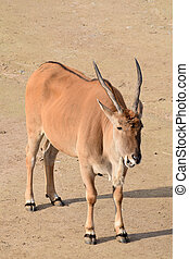 eland antelope in the zoo