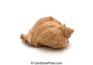 Seashell on white background