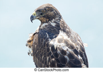 Galapagos Hawk, Galapagos Islands, Ecuador - Closeup of...