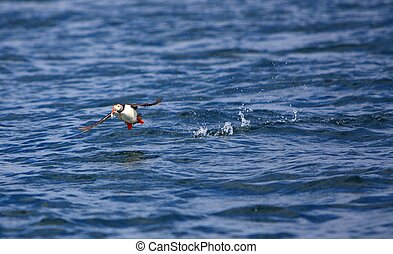 Puffin in flight - A Puffin in Flight over the Sea