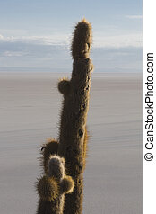 Huge cactus and the Salar of Uyuni with blue sky, Bolivia