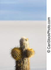 Small cactus and the Salar of Uyuni with blue sky, Bolivia