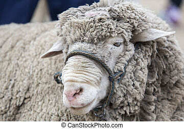 Portrait of white lamb at the Otavalo Animal Market, Ecuador...