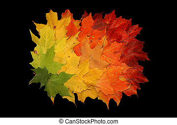 Fall leaves background - Colorful maple leaves in gradient...