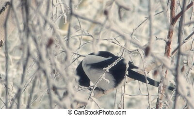 Magpie sits on a snowy tree branch and biting the bark 1