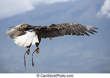 American Bald Eagle flying in Otavalo, Ecuador - Flying...