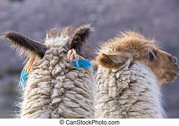 Two beautiful Llamas, Argentina - Group of llamas in...