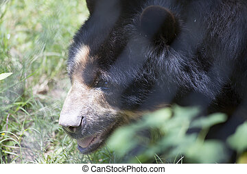 Andean Bear - Close up of an Andean bear (Ursus ornatus)...